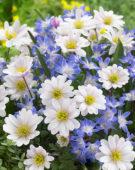 Anemone blanda, Chionodoxa