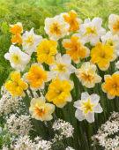 Narcissus Vink mix