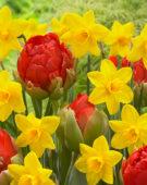 Narcissus Sweetness, Tulipa Redwood