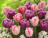 Tulipa Color Burst, Foxtrot