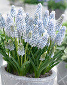 Muscari Baby's Breath