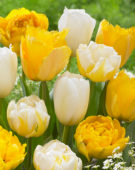 Tulipa yellow and white mix