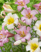 Lilium White and Pink Planet