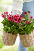 Geraniums in baskets