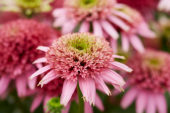 Echinacea Cotton Candy