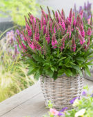 Veronica spicata Bubblegum Candles