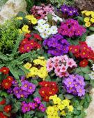 Primula vulgaris mixed