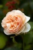 Rosa Sweet Juliet