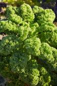Brassica oleracea, kale