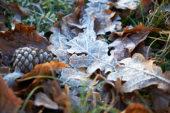 Bevroren eikenbladeren