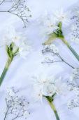 Narcissus Ziva, Gypsophila