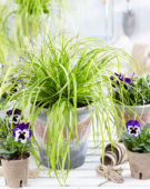 Carex EverColor® Everillo