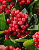 Skimmia japonica Obsession ®