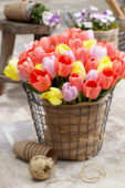 Tulipa colour mix