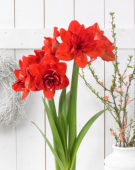 Hippeastrum Red Glory