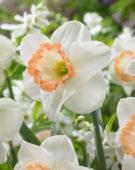 Narcissus Spring Pride