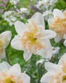 Narcissus Palmares