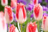 Tulipa Sweet Simone