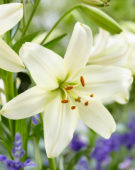 Lilium Pearl White