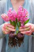Hyacinthus bulbs
