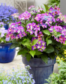 Hydrangea macrophylla Shining Angel® blue
