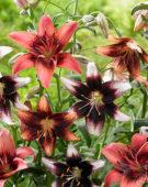 Lilium bicolour mix