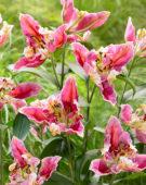 Lilium Pink Parrot Carriba