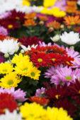 Chrysanthemum gemengd