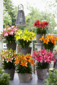 Lilium Summer Joy collection
