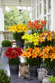 Lilium Fall Joy collection