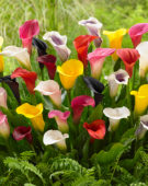 Zantedeschia colour mix