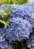 Hydrangea macrophylla Blue Boogiewoogie ®