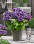 Hydrangea macrophylla Forever and Ever purple