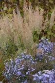 Calamagrostis brachytricha, Aster Little Carlow