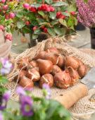 Tulipa bulbs