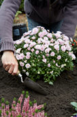 Planting chrysanthemums