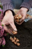 Planting Crocus bulbs