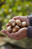 Hands holding daffodil bulbs