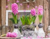 Hyacinthus Pink Pearl