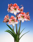 Hippeastrum Tabledance
