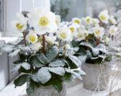 Helleborus niger Christmas Carol
