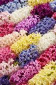 Hyacinthus kleurenmix