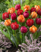Tulipa Red and Orange Princess, World Bowl