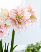 Hippeastrum Striped Amadeus