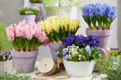 Hyacinthus collection
