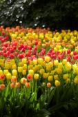Tulipa border