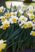Narcissus Thomas Mawson