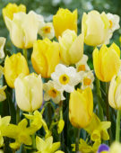 Tulipa and Narcissus mix