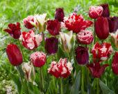 Tulipa mix red and white 2