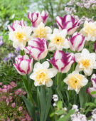 Tulipa Affaire, Narcissus Sweet Desire